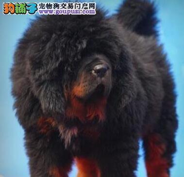 正宗原生态藏獒福州犬舍直销中 欢迎来上门购买