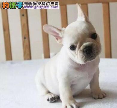 重庆最大的法国斗牛犬基地 完美售后购犬可签协议