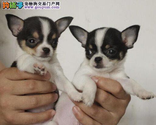 北京出售吉娃娃幼犬品质好有保障狗贩子请绕行
