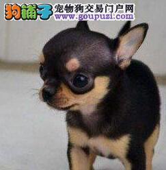 深圳犬舍促销吉娃娃超小体苹果头可爱至极