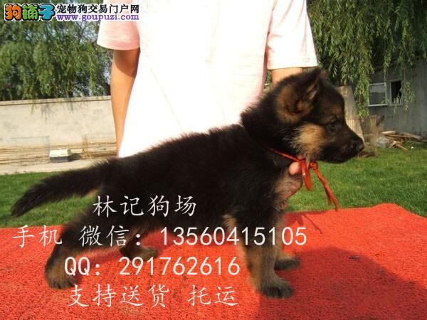 广州哪里有卖狼狗什么价格林记狗场 广州狗场