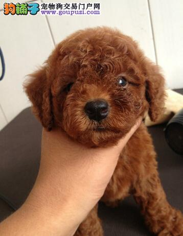 纯种健康泰迪在云南哪里能买到,狗场出售