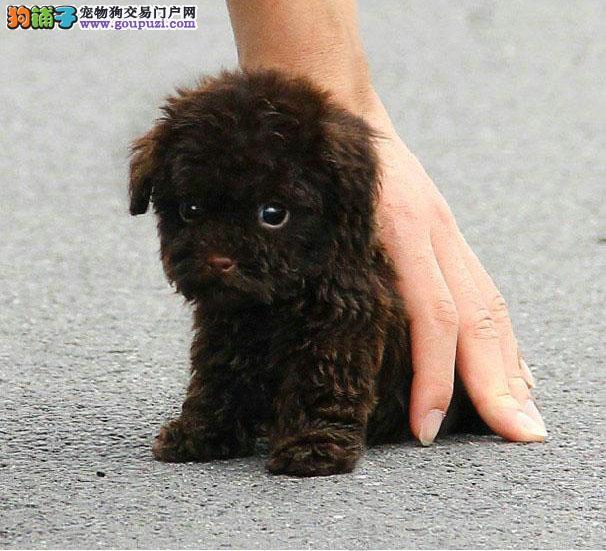 权威机构认证犬舍 专业培育茶杯犬幼犬期待您的光临