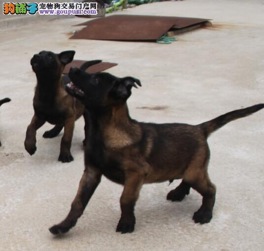 马圈2 4个月的幼犬都有 价格合理