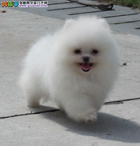 那里有卖纯种博美 哈多里博美专业犬舍诚心可靠