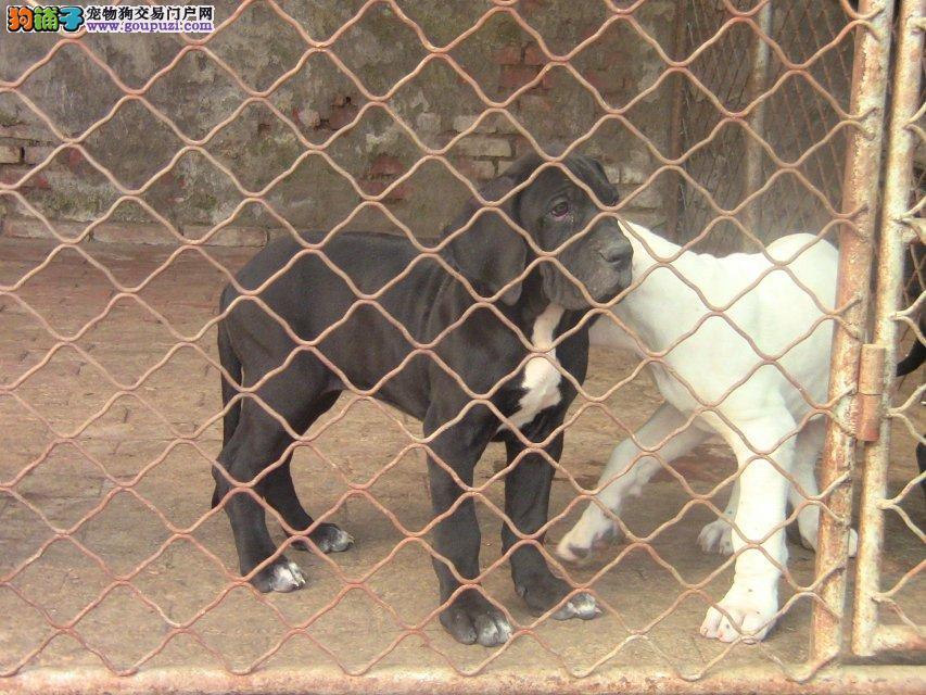 知名犬舍出售多只赛级大丹犬专业繁殖中心值得信赖