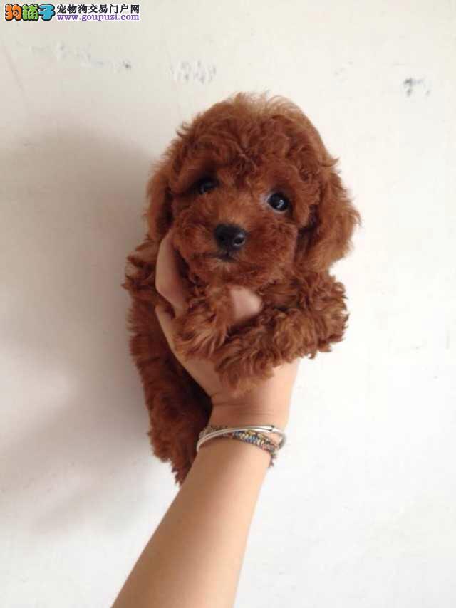 颜色全品相佳的茶杯犬纯种宝宝热卖中期待您的光临