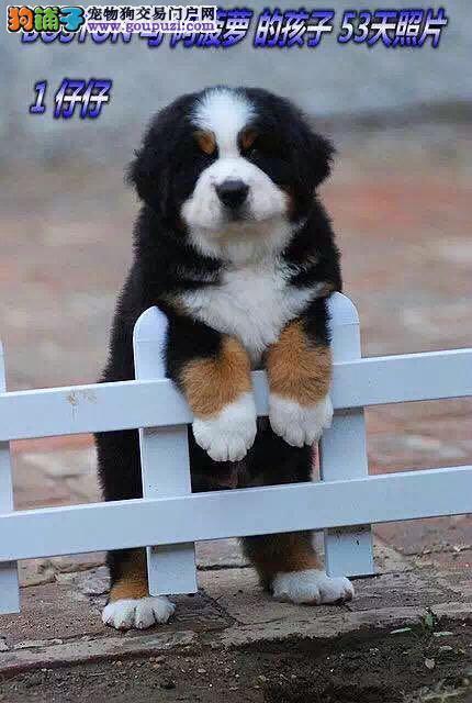出售纯正伯恩山犬疫苗齐全 保证健康 支持空运骨量足
