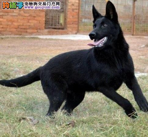 知名犬舍出售多只赛级昆明犬办理血统证书