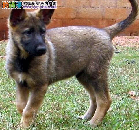 纯种昆明犬幼犬,精心繁育品质优良,诚信经营保障