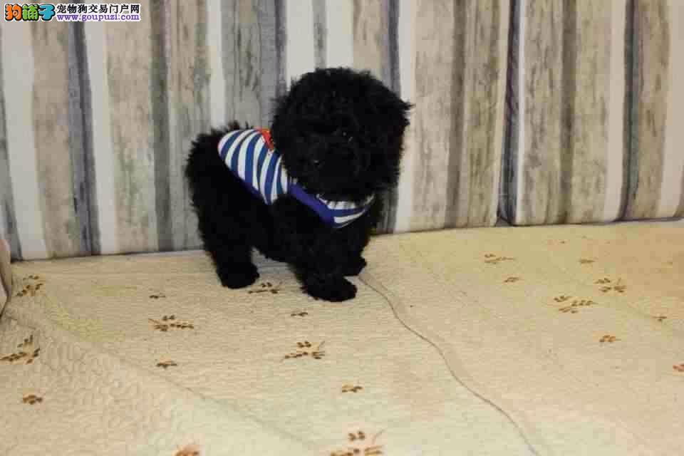 吐鲁番大型狗场出售茶杯型泰迪熊狗狗颜色齐全