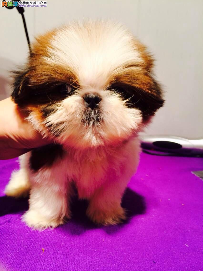 纯种西施幼犬出售 可上门挑选 种公对外配种