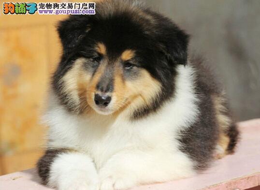 杭州出售苏格兰牧羊犬|苏牧多少钱|苏牧专售
