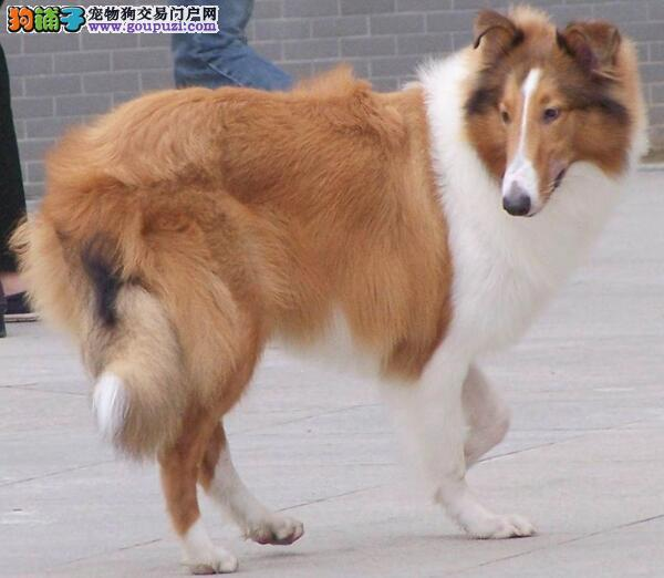 CKU认证犬舍直销 高品质苏牧幼犬 纯种健康质保