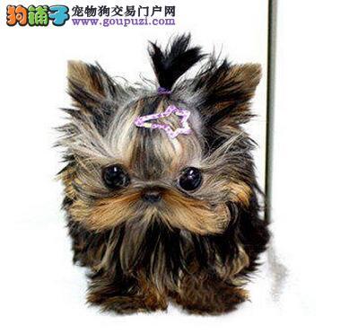 出售小体型约克夏宝宝样子漂亮!