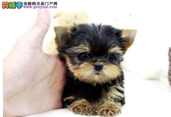 富贵之家出售约克夏幼犬,喜欢的朋友来看看