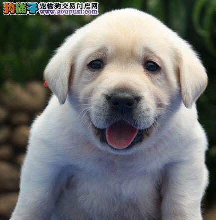 杭州正宗狗场拉布拉多 血统正宗 品质保证 三年联保