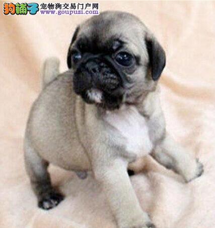 巴哥幼犬出售,嘟嘟的,很可爱,有多窝可以选择