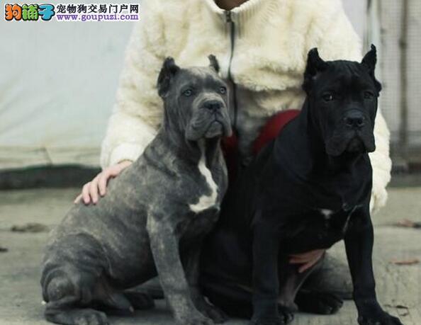出售重庆卡斯罗犬专业缔造完美品质送用品送狗粮