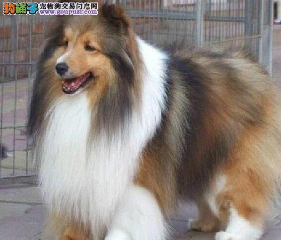 家养一窝纯种苏格兰牧羊犬,长毛帅气可爱