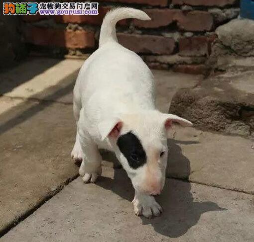 广州牛头梗专卖 新汕狗场繁殖纯种牛头梗幼犬多窝
