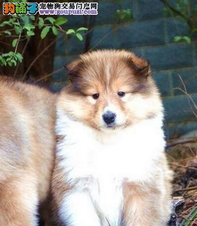 出售纯种健康苏牧犬 品质保证做完疫苗驱虫