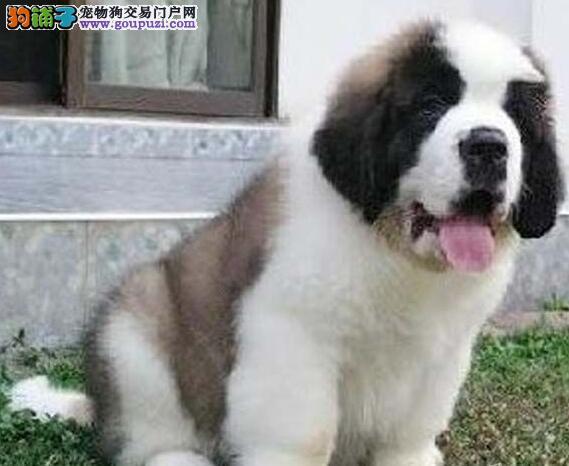 高品质赛级圣伯纳幼犬终身保障可来场选质保三年可刷卡