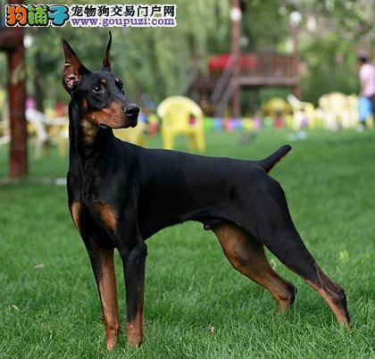 高品质杜宾犬热销、纯度100%保证健康、三包终生协议