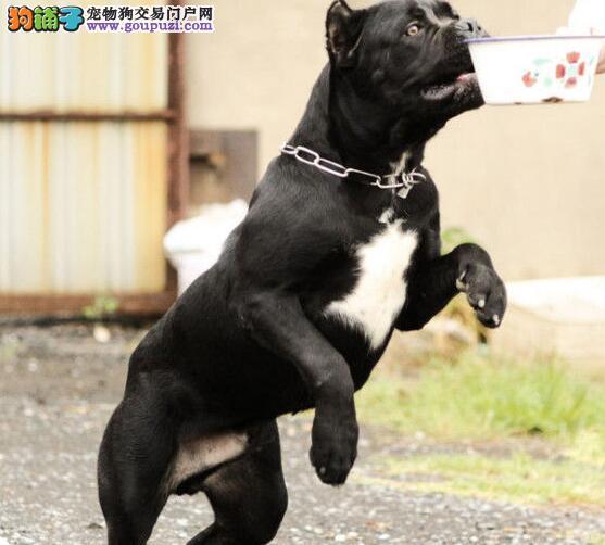 基地出售 意大利勇士 卡斯罗 顶级护卫犬 多种颜色