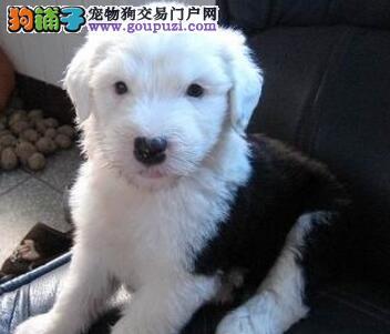 哪里有古牧幼犬纯种古牧多少钱白头黑背小古牧低价售