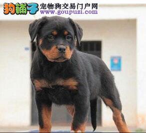 丽水出售罗威纳幼犬可以送货到家挑选 现有多只可选