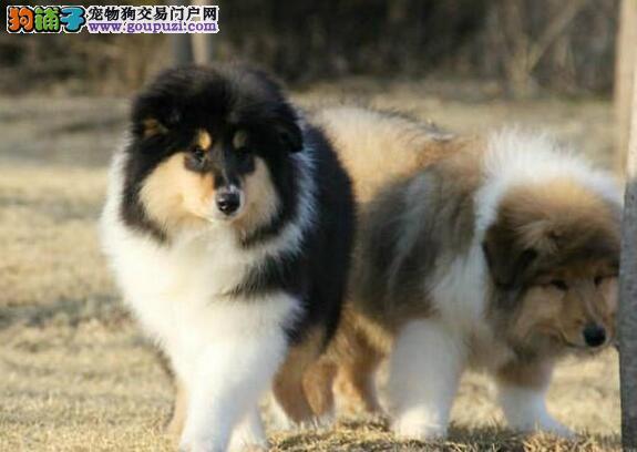 多种颜色的赛级苏牧幼犬寻找主人真实照片包纯