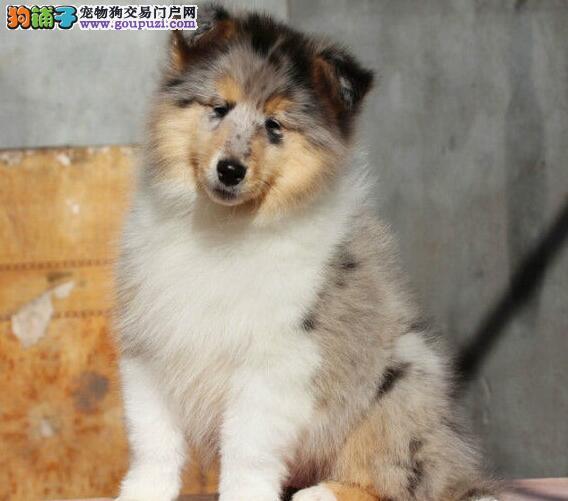 广元出售高品质苏牧幼犬出售了 疫苗做完 质量三包