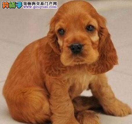 出售纯种健康的重庆可卡幼犬一分价钱一分货