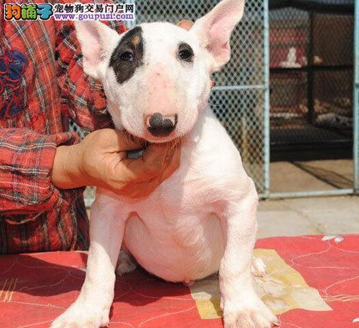 热销牛头梗幼犬,品相血统一级棒,可签保障协议