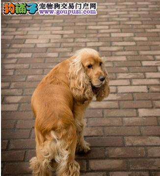 濮阳活泼可爱的可卡赛级品相纯种可卡幼犬出售