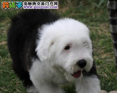 本店出售纯种血统古代牧羊犬幼犬保质量可上门公母都有