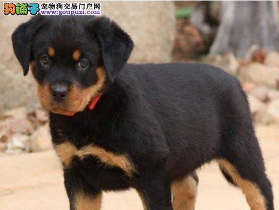杭州罗威纳纯种罗威纳幼犬公母都有气势强悍健康保障