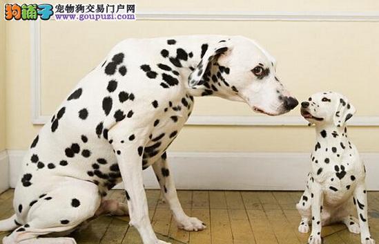 出售斑点狗幼犬价格不等欢迎上门挑选