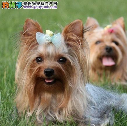 江门出售茶杯约克夏幼犬 纯种健康可爱活泼