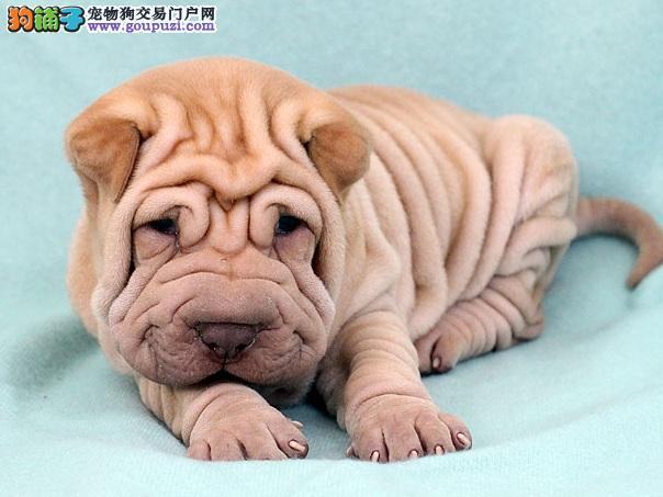 衡水出售超可爱的沙皮幼犬 适应能力强 血统纯正