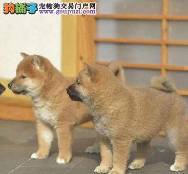 日本柴犬健康活泼 签合同保品质