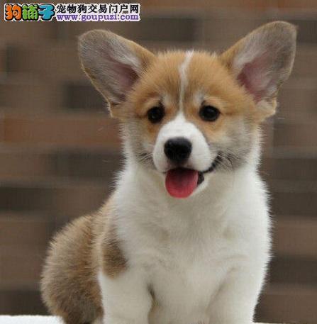 泰州精品威尔士小短腿柯基犬出售
