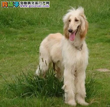 热销阿富汗猎犬幼犬,国际血统品质保障,三包终生协议