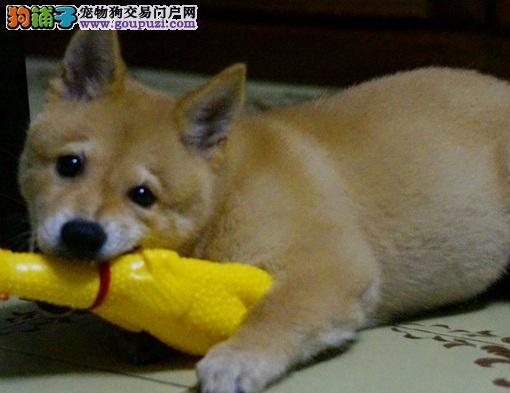 纯种日本柴犬 家庭伴侣犬 品质保证