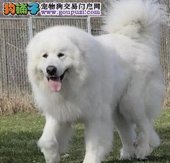 CKU认证犬舍 专业出售极品 大白熊幼犬可签合同刷卡