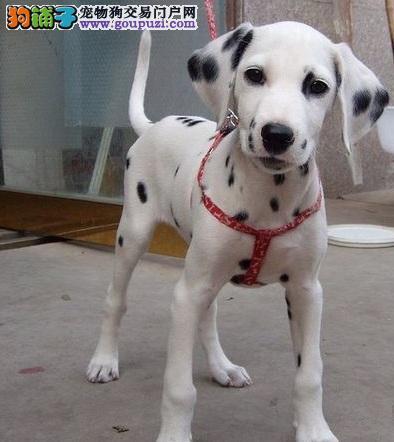 湖州出售黑白闪烁斑点狗 动作灵敏大麦町犬