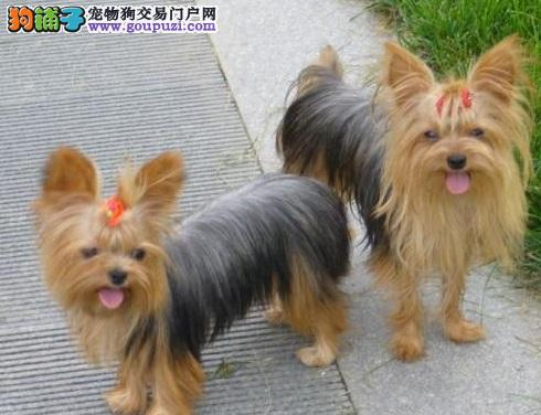 出售家养纯种约克夏犬疫苗驱虫都已做,欢迎上门挑选