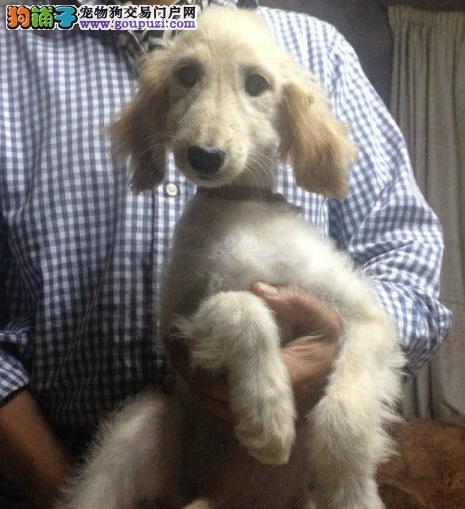 纯种阿富汗猎犬宝宝兰州地区找主人CKU认证绝对信誉保障