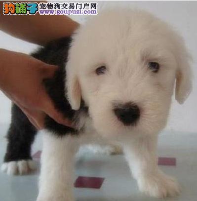上海出售纯种古代牧羊犬白头通背双蓝眼体态完美